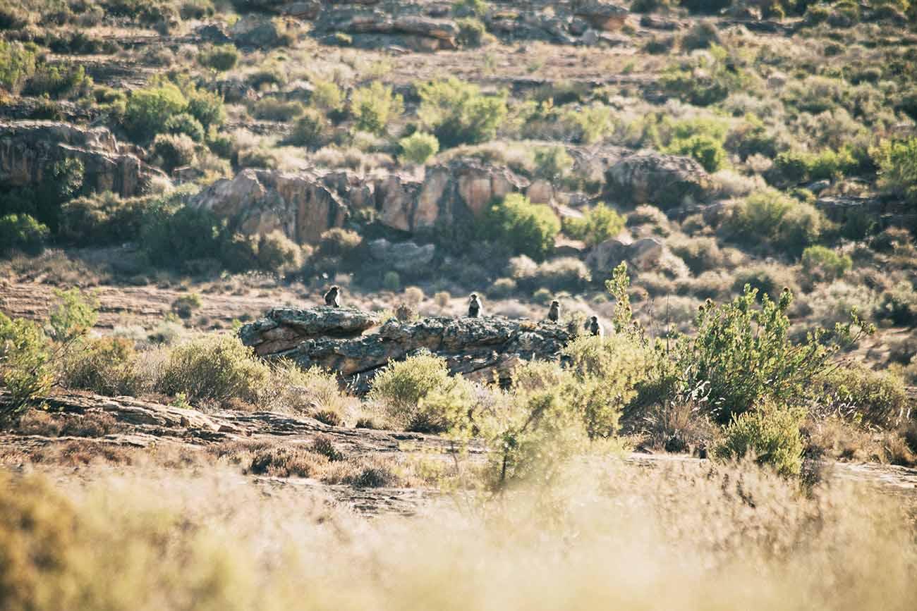 fringeandfrange-monkeys-southafrica
