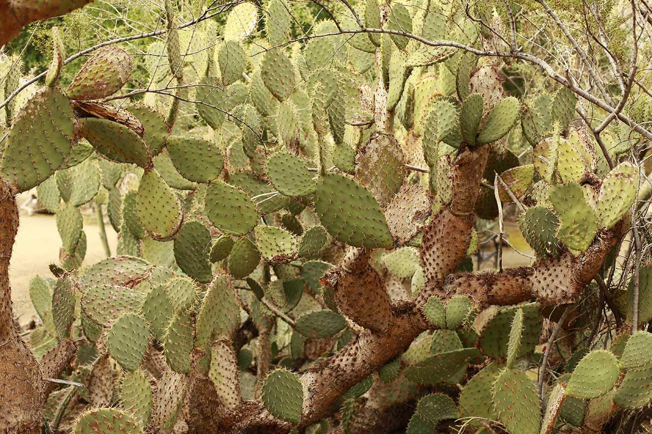 cacti-palmsprings