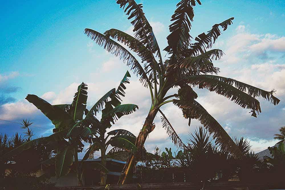 palmtree oahu